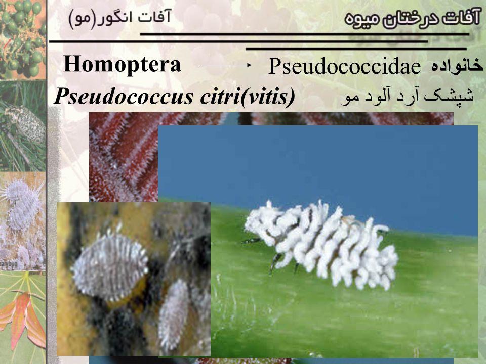 Homoptera Pseudococcidae خانواده Pseudococcus citri(vitis) شپشک آرد آلود مو