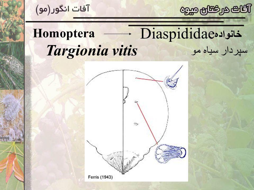 Homoptera Diaspididae خانواده Targionia vitis سپردار سياه مو