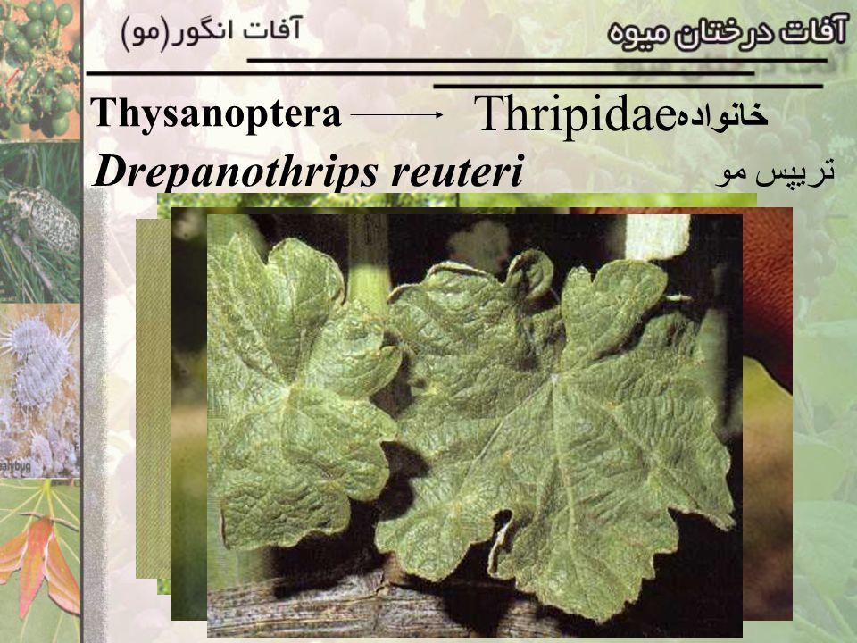 Thysanoptera Thripidae خانواده Drepanothrips reuteri تريپس مو
