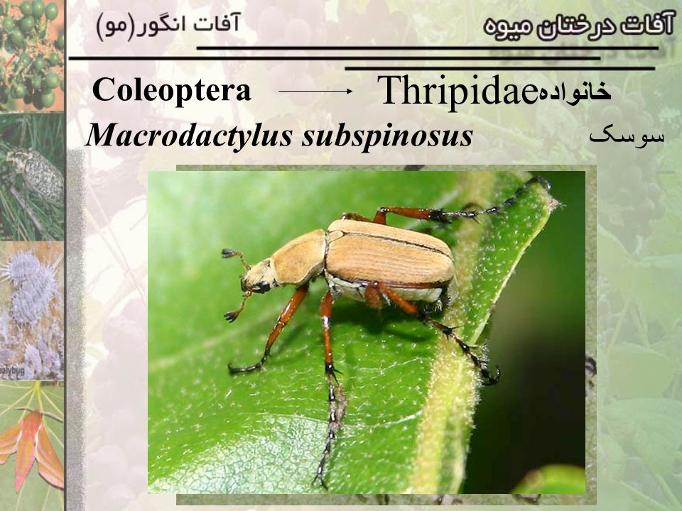 Coleoptera Thripidae خانواده Macrodactylus subspinosus سوسک