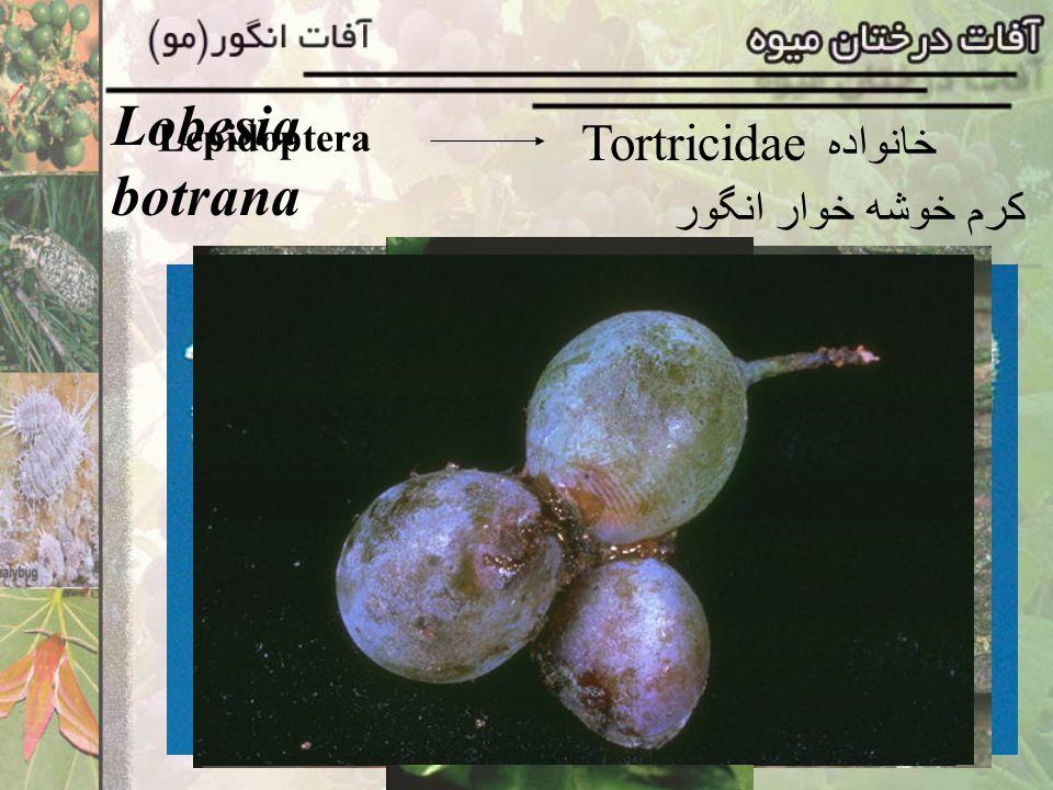 Lepidoptera Tortricidae خانواده Sparganothis pilleriana کرم برگخوار مو پارازیت :کفشدوزک Coccinella septumpunctata تخمها