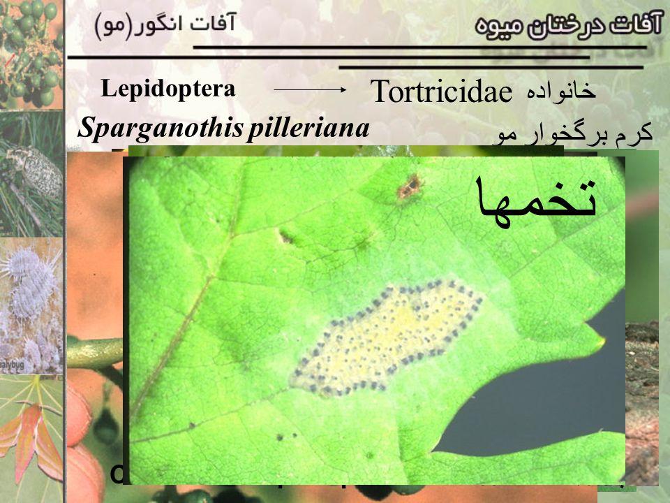 Eryophidae خانواده Epitrimerus vitis کنه زنگار برگ مو