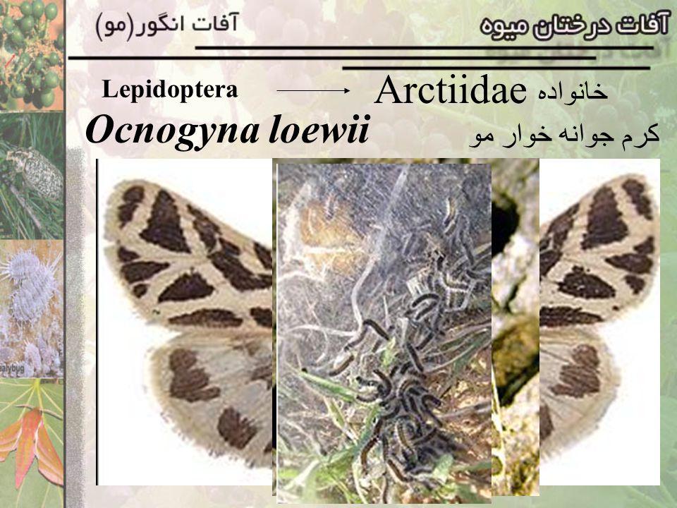 Lepidoptera Heliozelidae خانواده Holocacista rivillei مينوز برگ مو