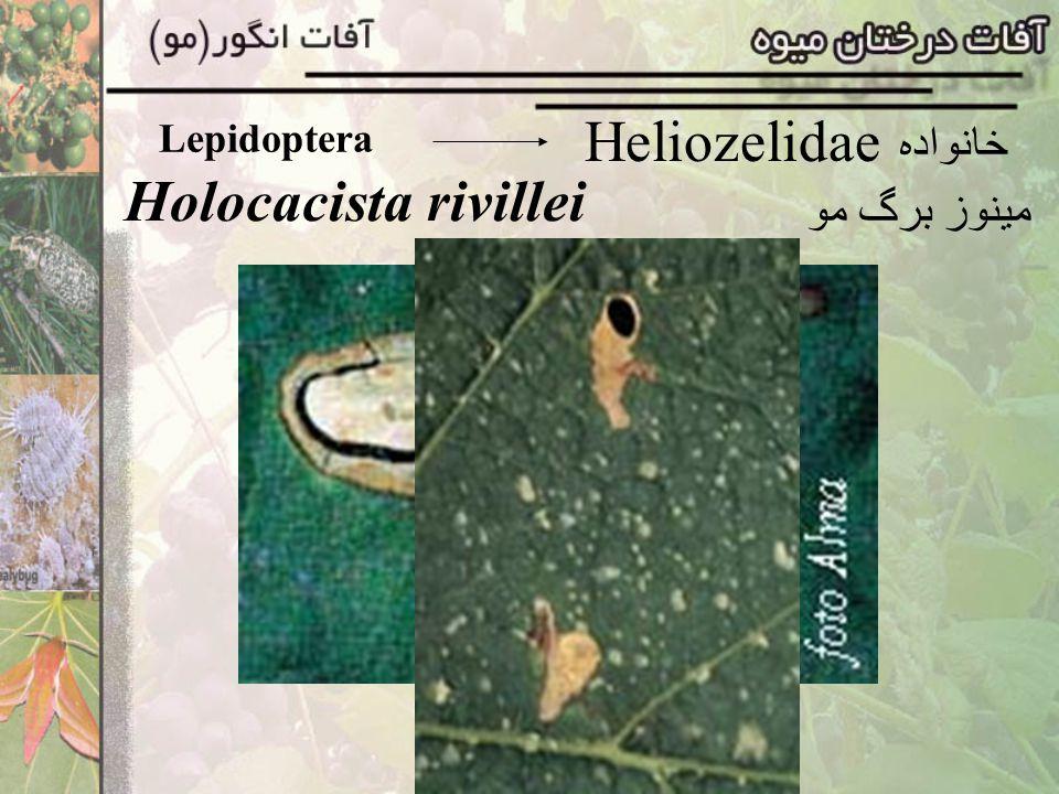 Lepidoptera Polychrosis botrana کرم خوشه انگور