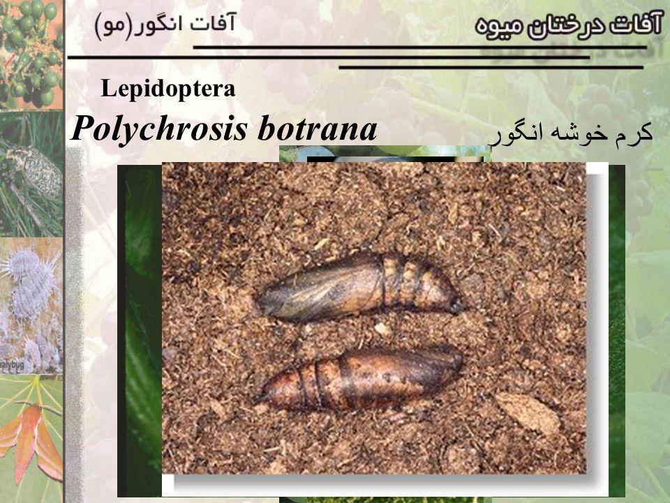 Lepidoptera Sphyngidae خانواده Theretra alecta پروانه شاخکدار مو