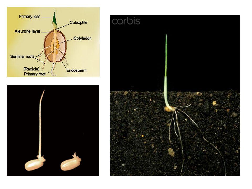 Shortday v longday plants
