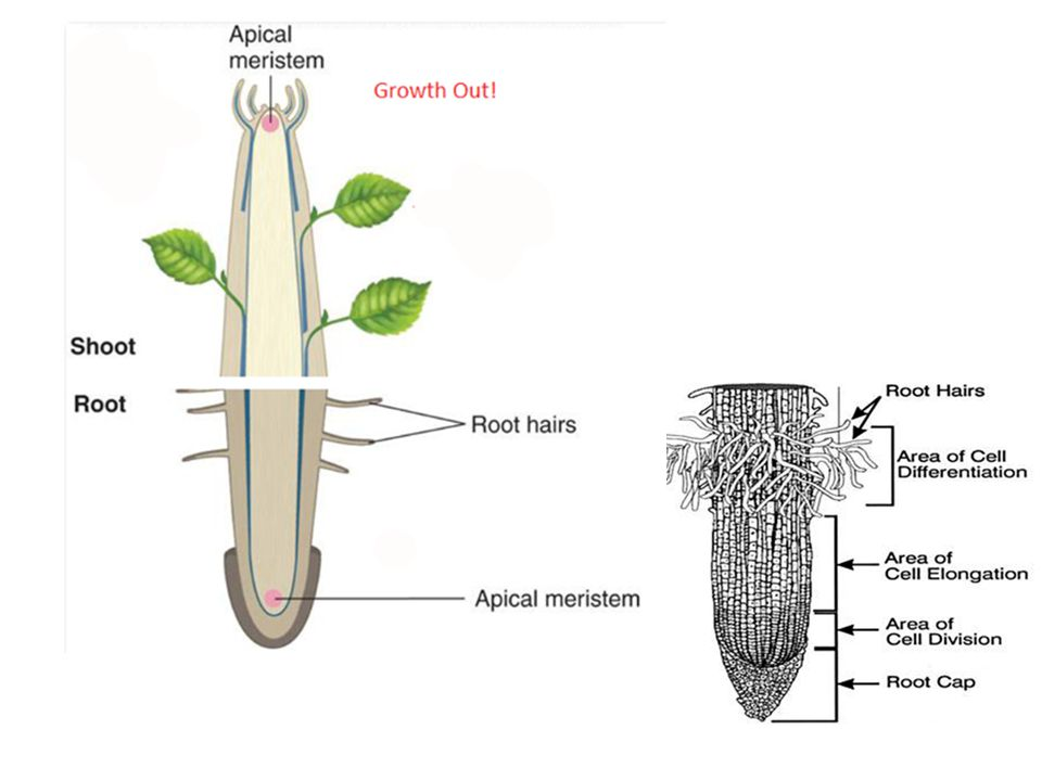 Thigmotropism is plant response to contact with a solid object.