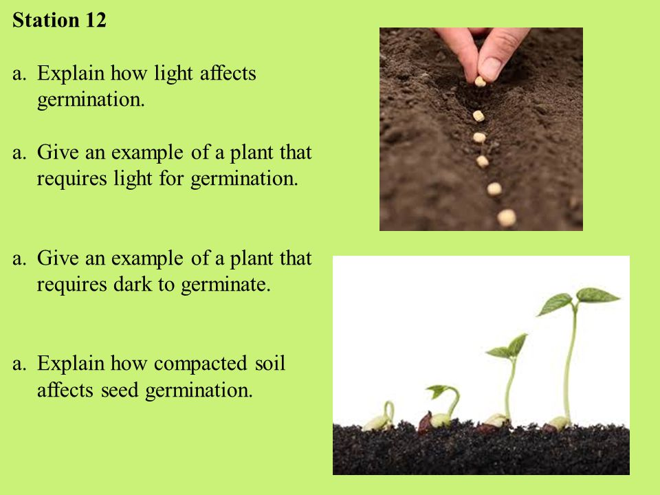 Station 12 a.Explain how light affects germination.