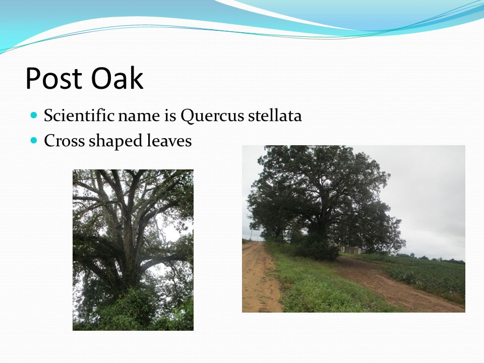 Post Oak Scientific name is Quercus stellata Cross shaped leaves