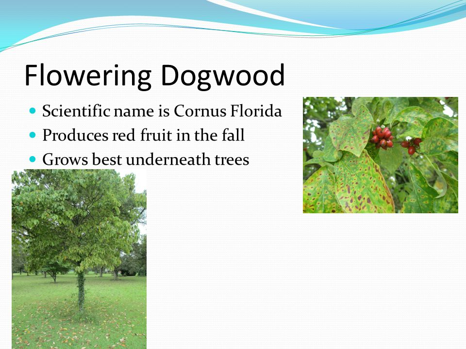Flowering Dogwood Scientific name is Cornus Florida Produces red fruit in the fall Grows best underneath trees