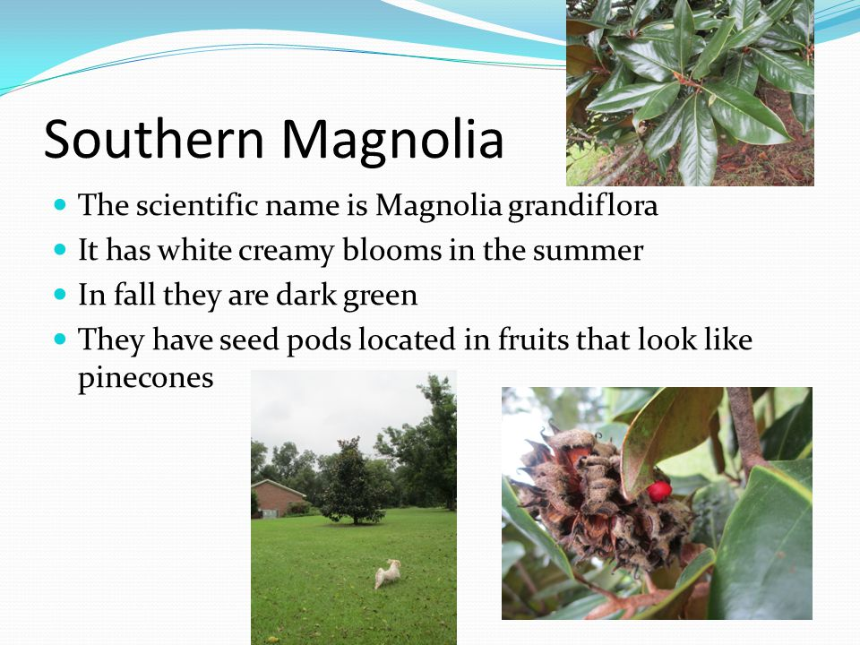 Southern Magnolia The scientific name is Magnolia grandiflora It has white creamy blooms in the summer In fall they are dark green They have seed pods