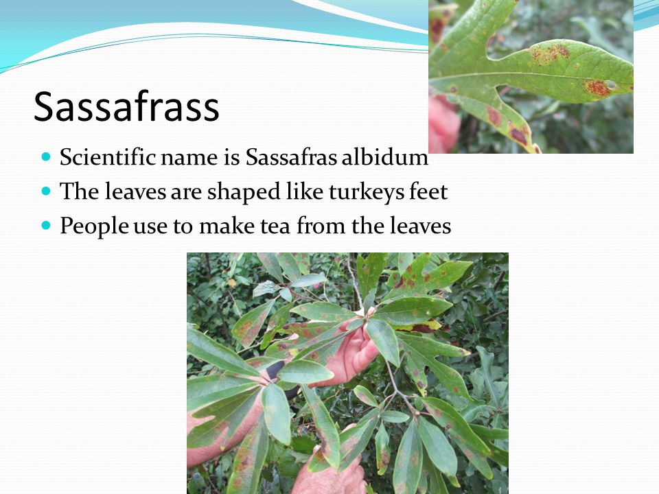 Sassafrass Scientific name is Sassafras albidum The leaves are shaped like turkeys feet People use to make tea from the leaves