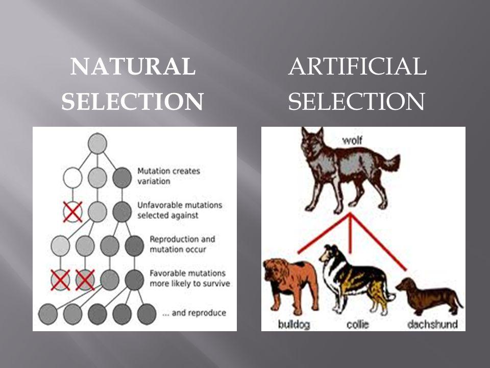 NATURAL SELECTION ARTIFICIAL SELECTION