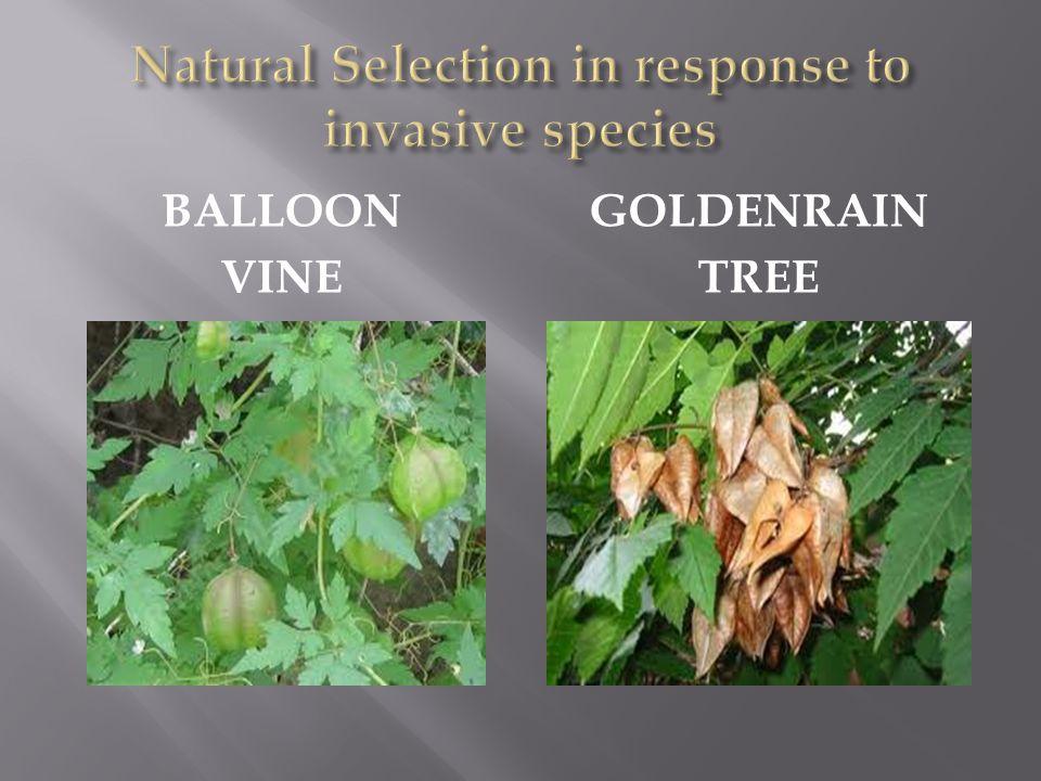 BALLOON VINE GOLDENRAIN TREE