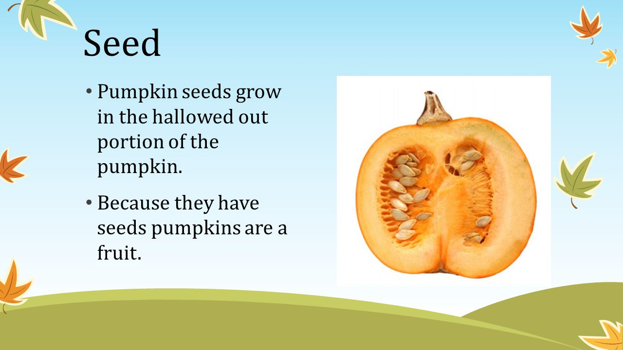 Seed Pumpkin seeds grow in the hallowed out portion of the pumpkin.