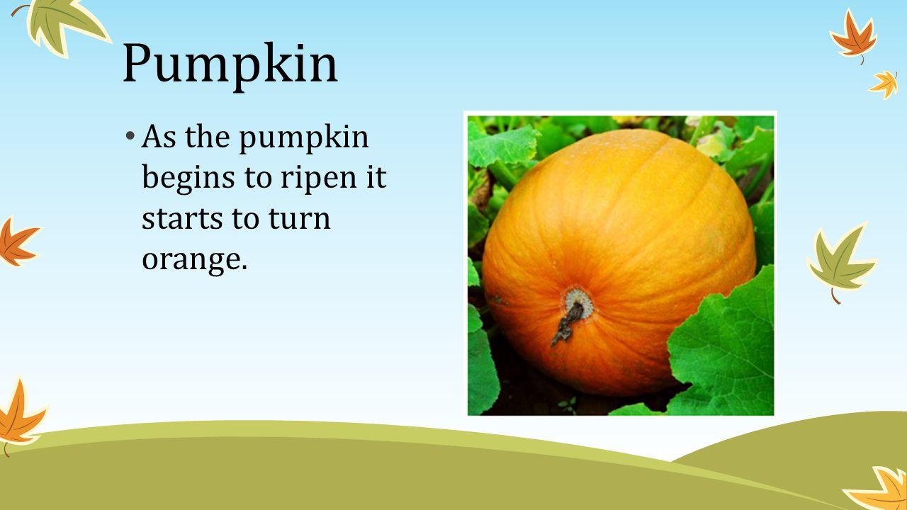 Pumpkin As the pumpkin begins to ripen it starts to turn orange.