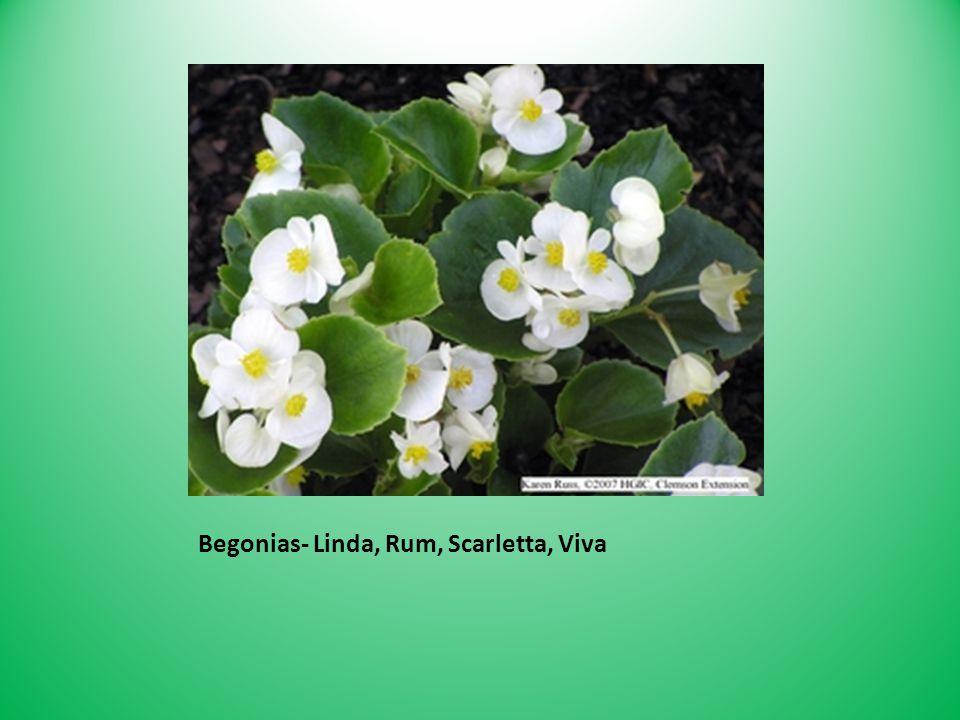 Begonias- Linda, Rum, Scarletta, Viva