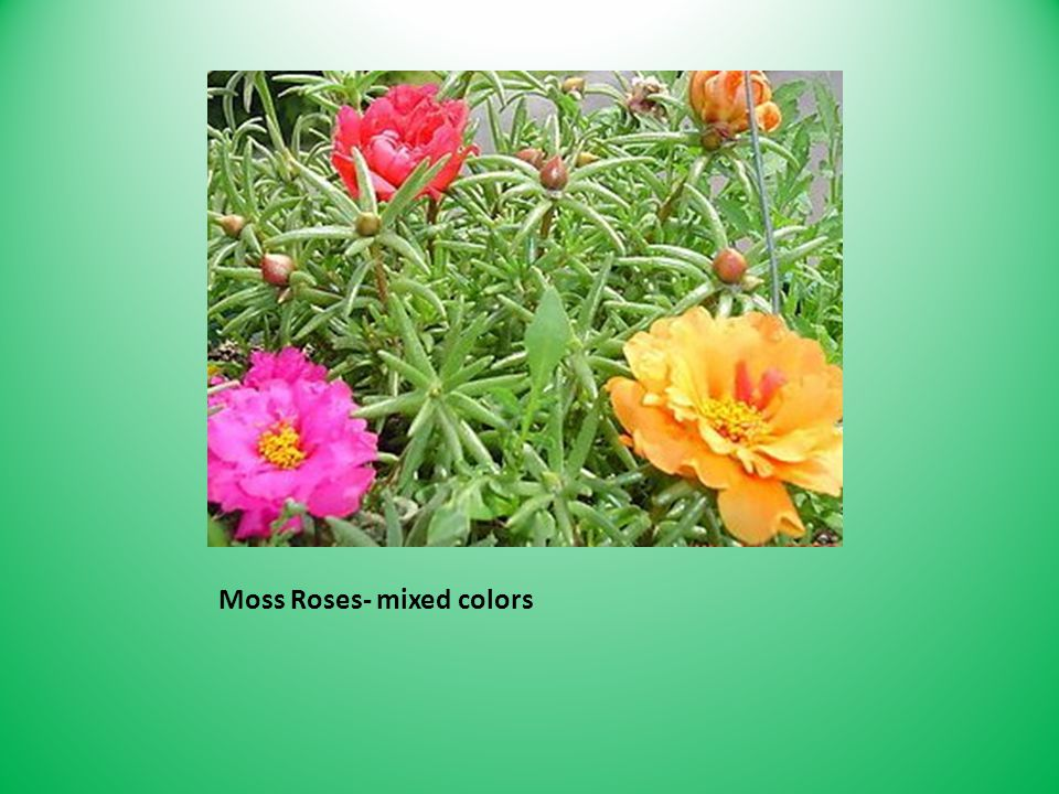 Moss Roses- mixed colors