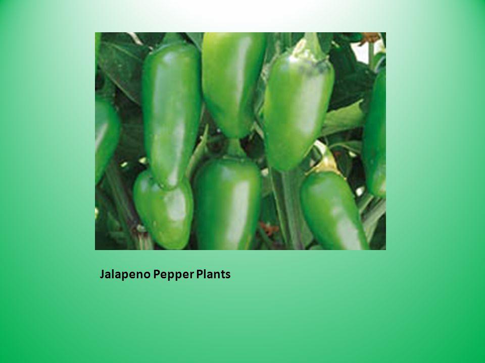 Jalapeno Pepper Plants