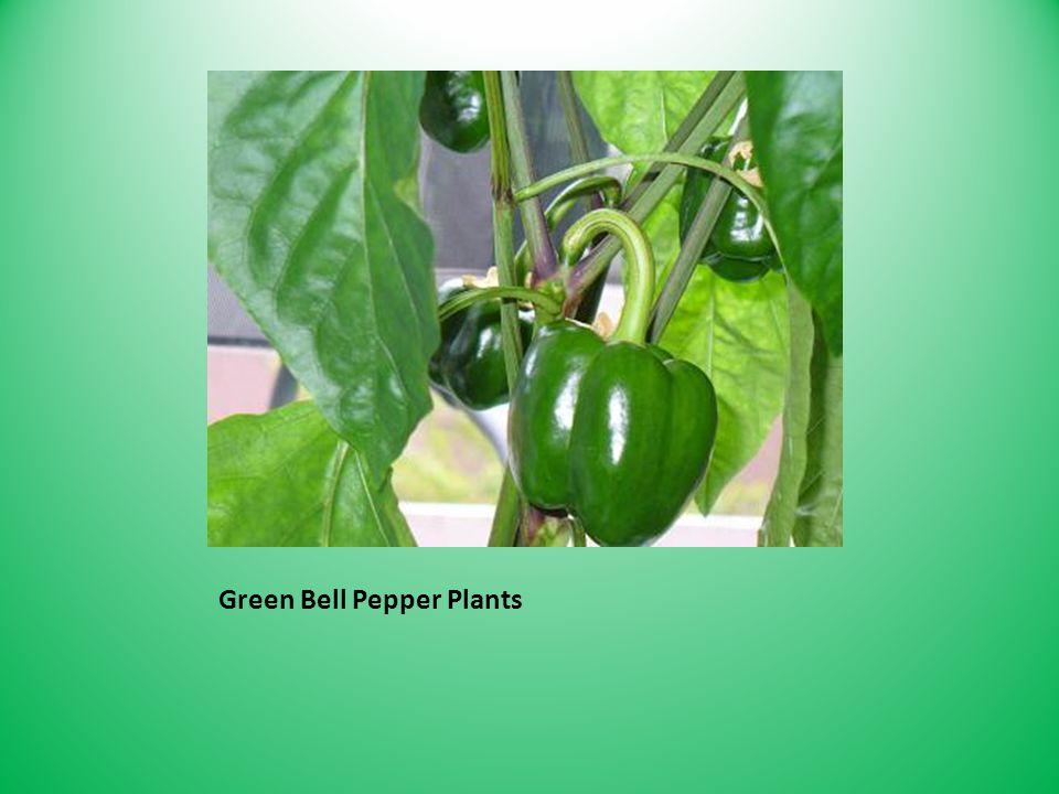 Green Bell Pepper Plants