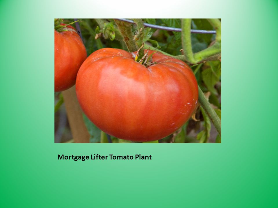 Mortgage Lifter Tomato Plant