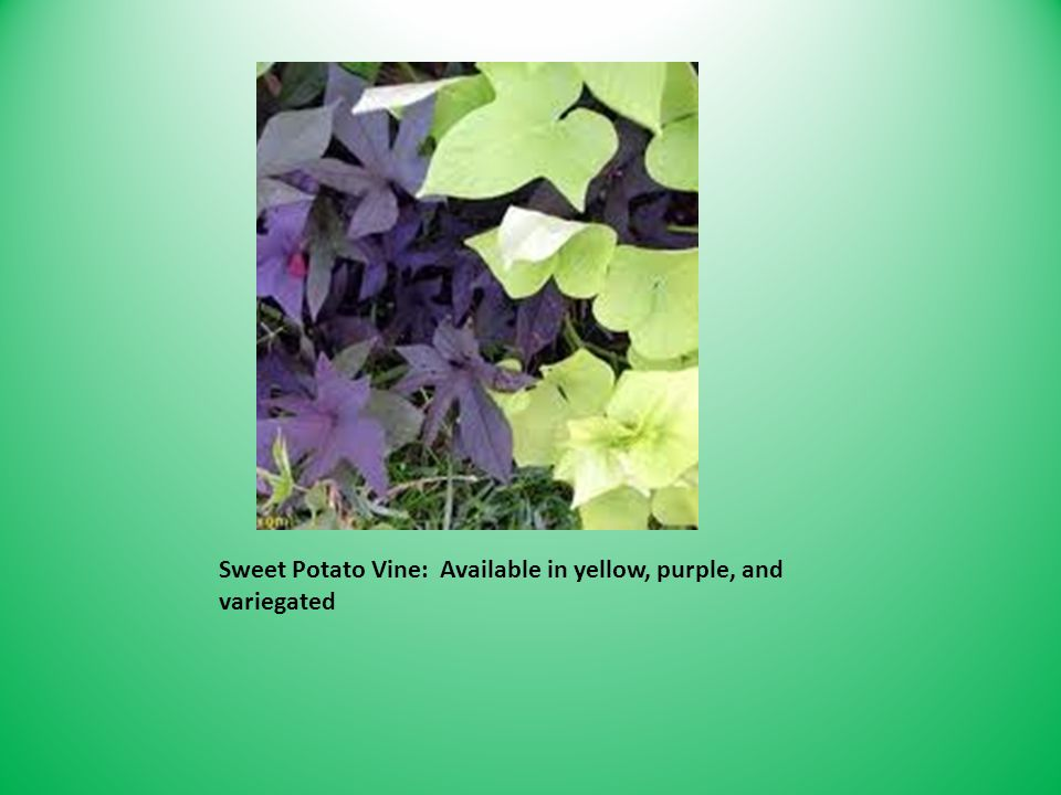 Sweet Potato Vine: Available in yellow, purple, and variegated