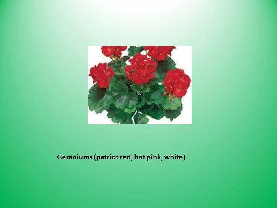 Geraniums (patriot red, hot pink, white)