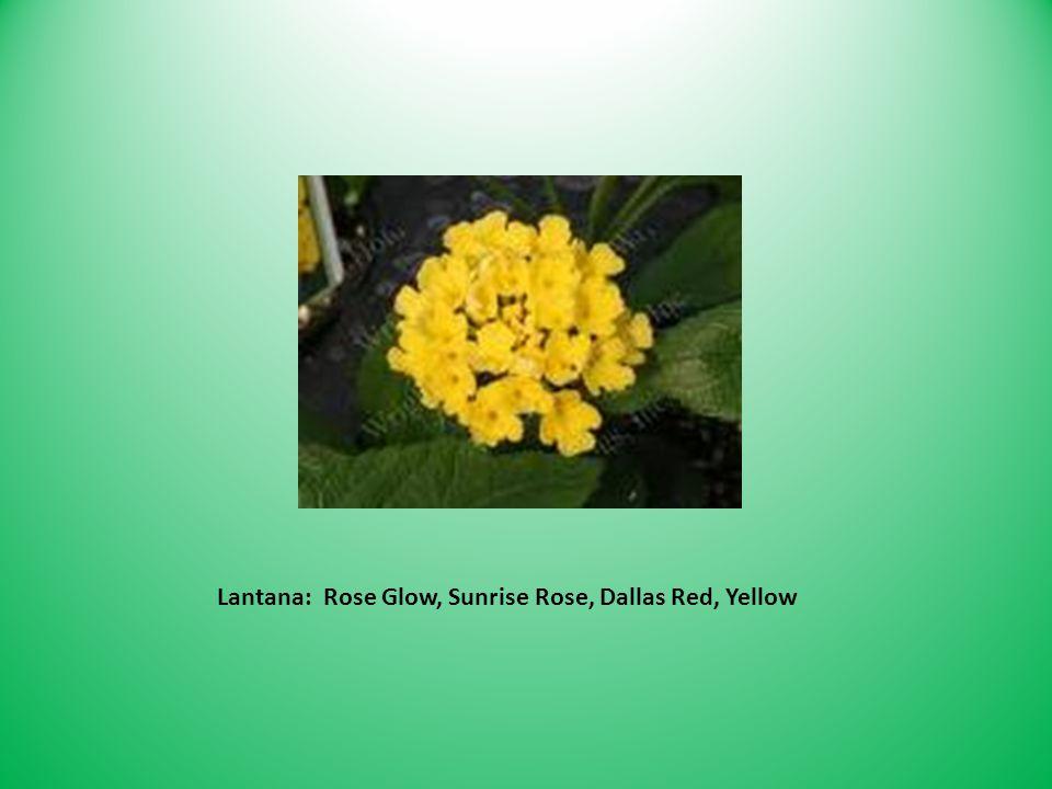 Lantana: Rose Glow, Sunrise Rose, Dallas Red, Yellow