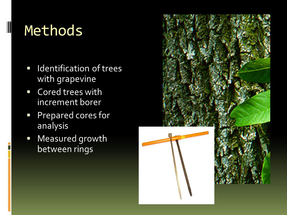 Methods  Identification of trees with grapevine  Cored trees with increment borer  Prepared cores for analysis  Measured growth between rings