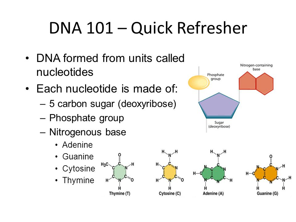 DNA 101 – Quick Refresher DNA formed from units called nucleotides Each nucleotide is made of: –5 carbon sugar (deoxyribose) –Phosphate group –Nitrogenous base Adenine Guanine Cytosine Thymine