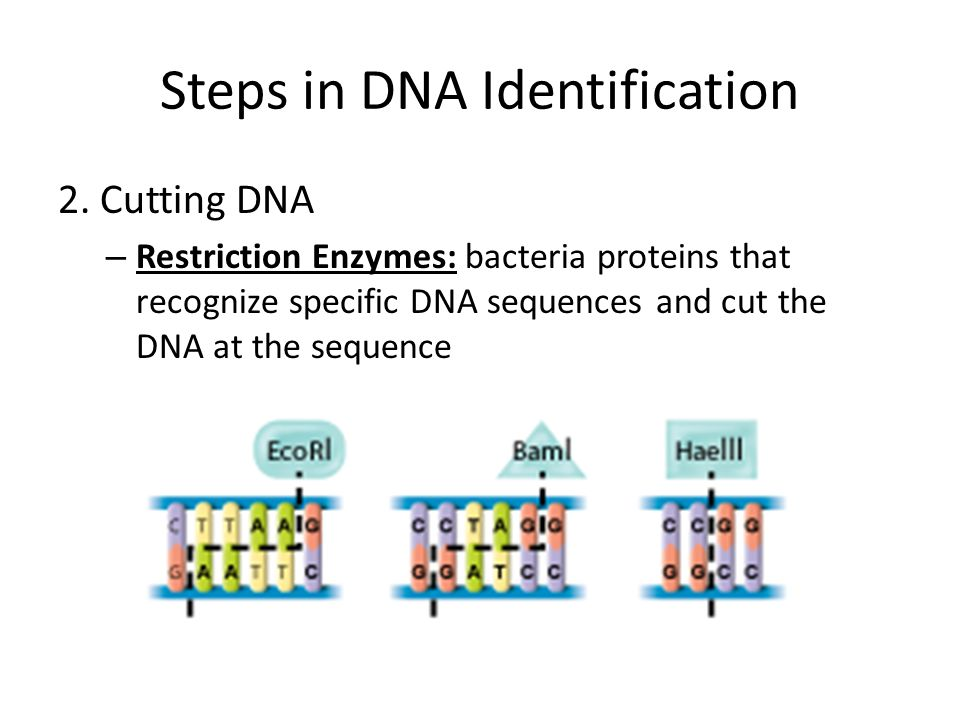 Steps in DNA Identification 2. Cutting DNA – Restriction Enzymes: bacteria proteins that recognize specific DNA sequences and cut the DNA at the seque
