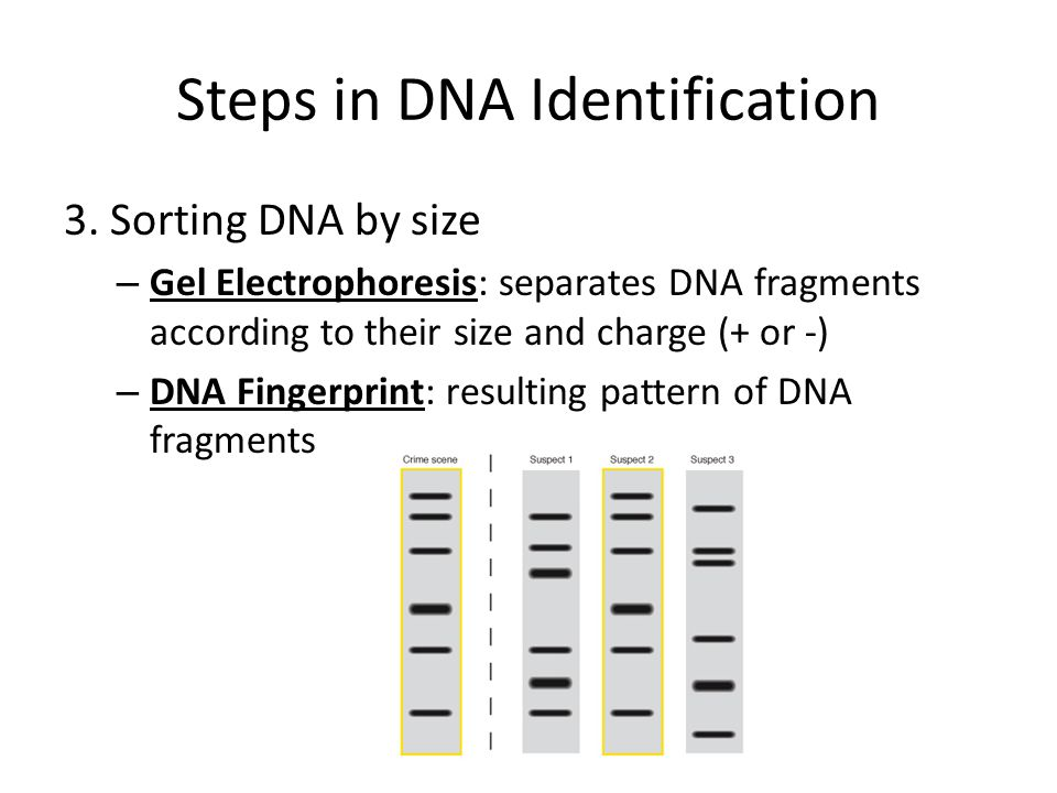 Steps in DNA Identification 3.