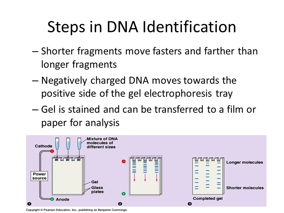 Steps in DNA Identification – Shorter fragments move fasters and farther than longer fragments – Negatively charged DNA moves towards the positive sid