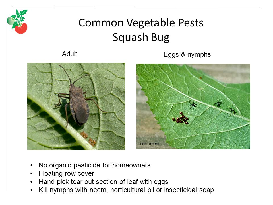 Common Vegetable Pests Squash Bug Adult Eggs & nymphs No organic pesticide for homeowners Floating row cover Hand pick tear out section of leaf with eggs Kill nymphs with neem, horticultural oil or insecticidal soap