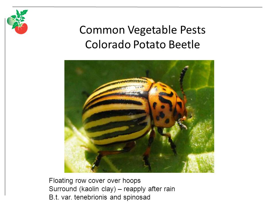 Common Vegetable Pests Colorado Potato Beetle Adults Floating row cover over hoops Surround (kaolin clay) – reapply after rain B.t.