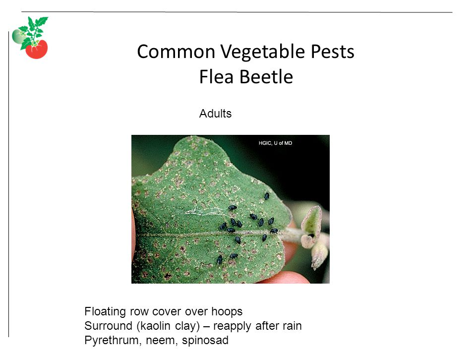 Common Vegetable Pests Flea Beetle Adults Floating row cover over hoops Surround (kaolin clay) – reapply after rain Pyrethrum, neem, spinosad