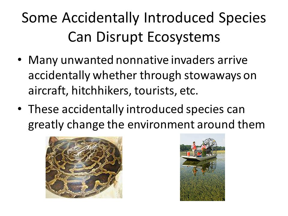 Some Accidentally Introduced Species Can Disrupt Ecosystems Many unwanted nonnative invaders arrive accidentally whether through stowaways on aircraft