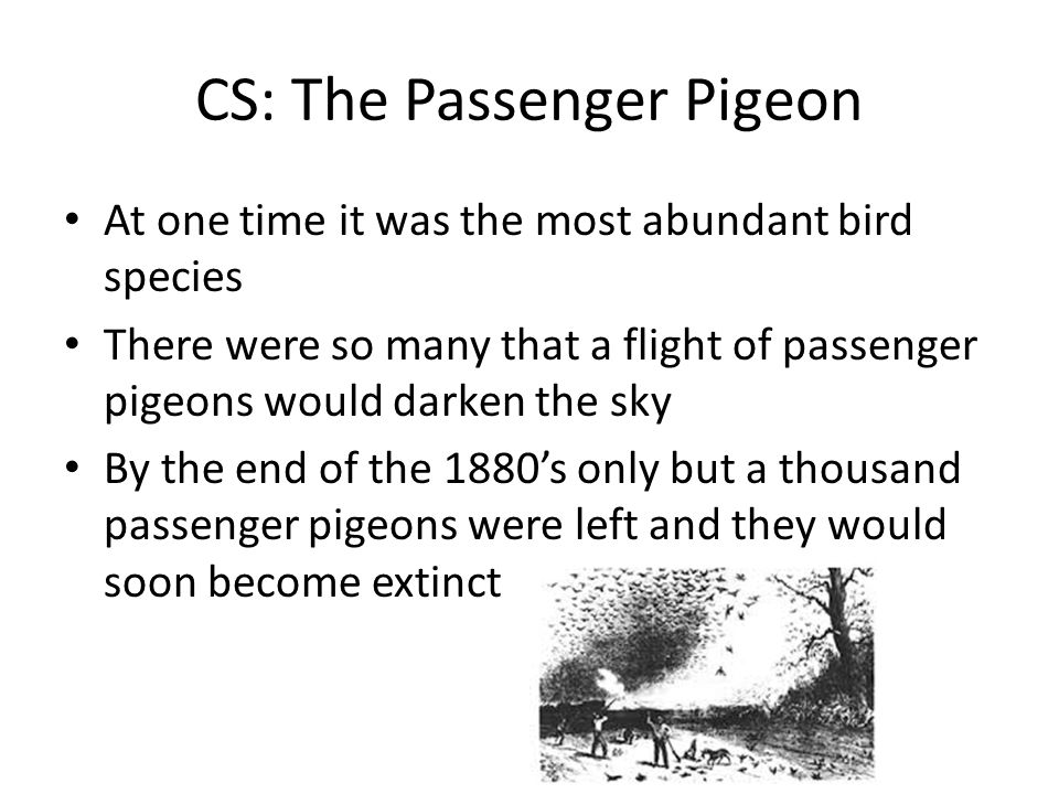 CS: The Passenger Pigeon At one time it was the most abundant bird species There were so many that a flight of passenger pigeons would darken the sky