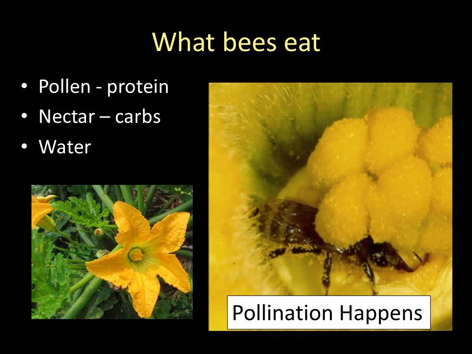 What bees eat Pollen - protein Nectar – carbs Water Pollination Happens