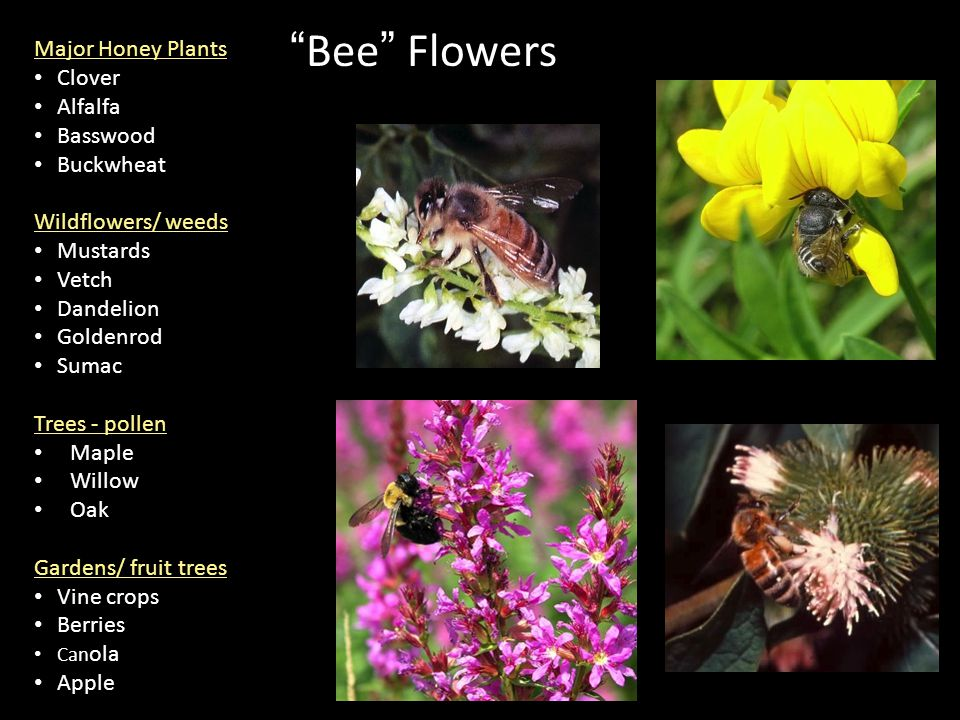 Bee Flowers Major Honey Plants Clover Alfalfa Basswood Buckwheat Wildflowers/ weeds Mustards Vetch Dandelion Goldenrod Sumac Trees - pollen Maple Willow Oak Gardens/ fruit trees Vine crops Berries Can ola Apple