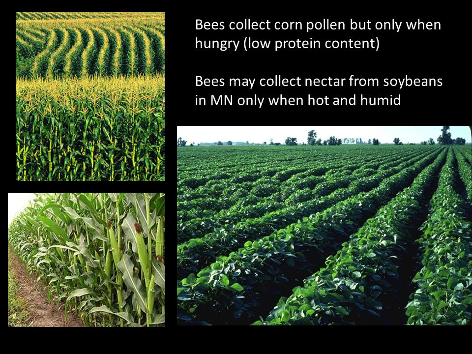 Bees collect corn pollen but only when hungry (low protein content) Bees may collect nectar from soybeans in MN only when hot and humid