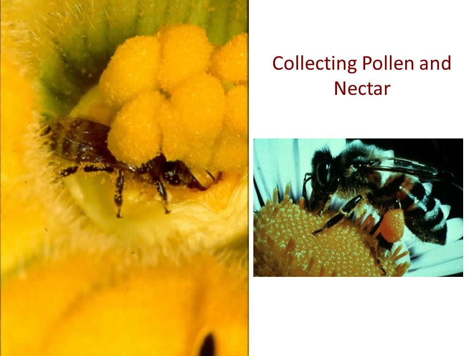 Collecting Pollen and Nectar