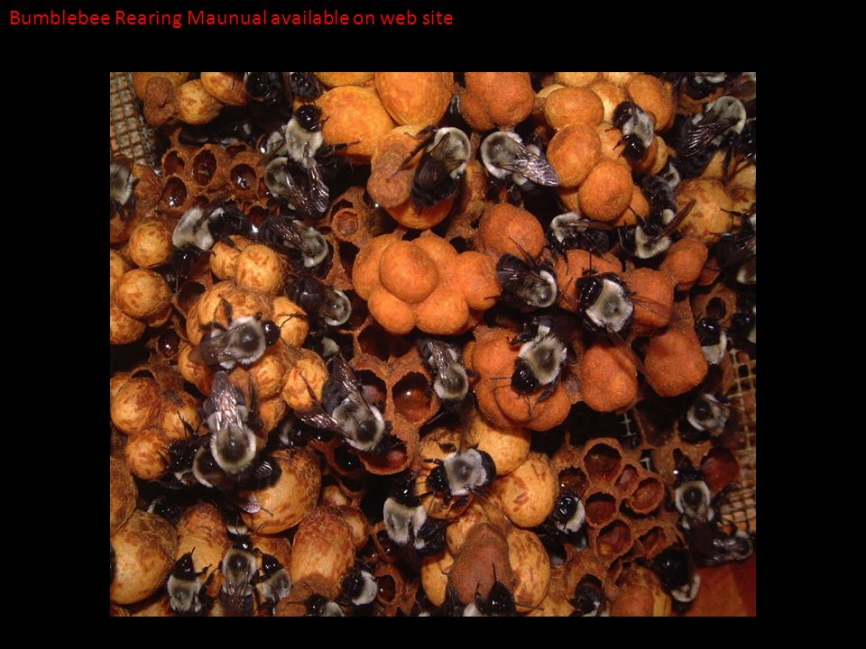 Bumblebee Rearing Maunual available on web site