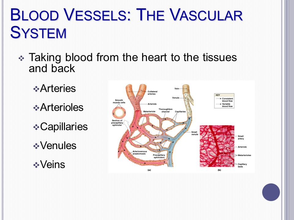 B LOOD V ESSELS : T HE V ASCULAR S YSTEM  Taking blood from the heart to the tissues and back  Arteries  Arterioles  Capillaries  Venules  Veins