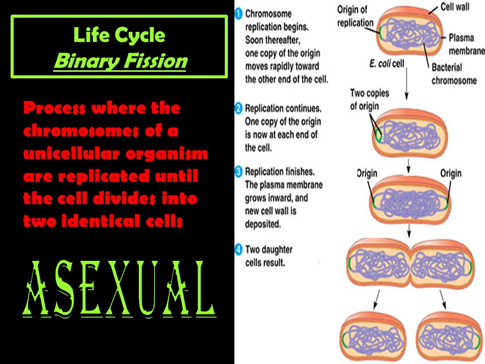 Life Cycle Binary Fission Process where the chromosomes of a unicellular organism are replicated until the cell divides into two identical cells