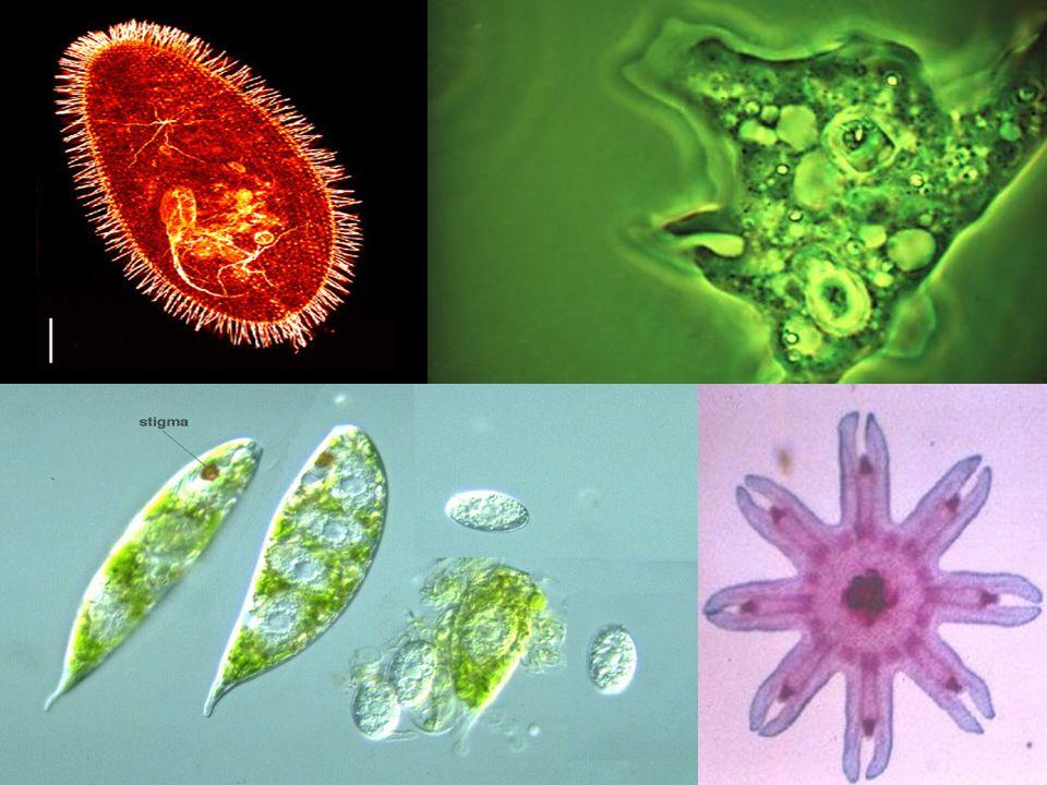 Sarcodinians Movement via cytoplasm Amoeba