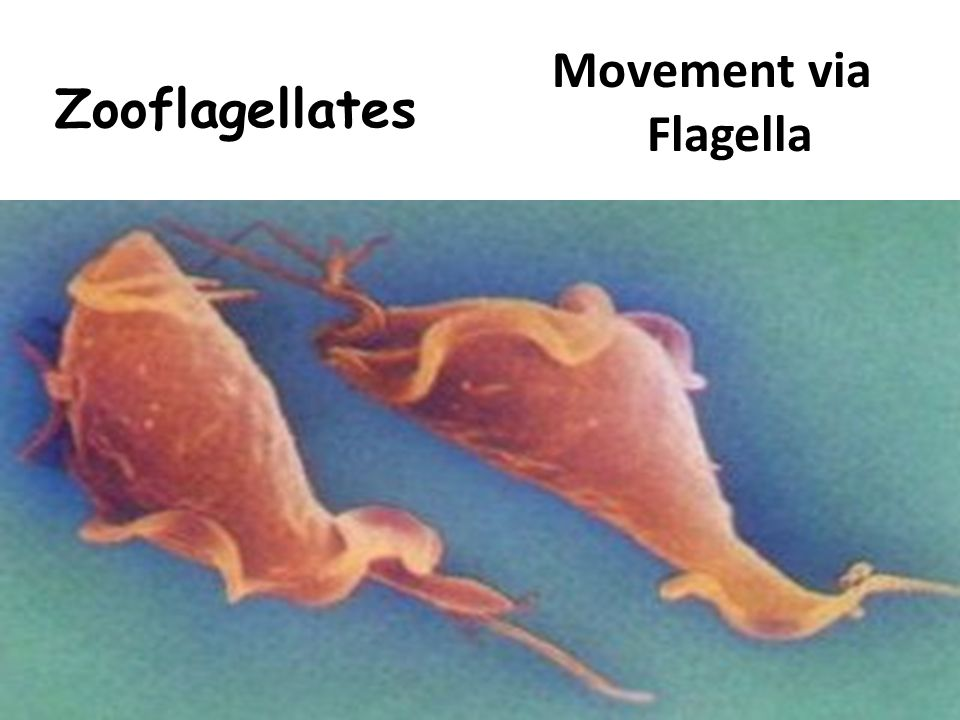 Zooflagellates Movement via Flagella