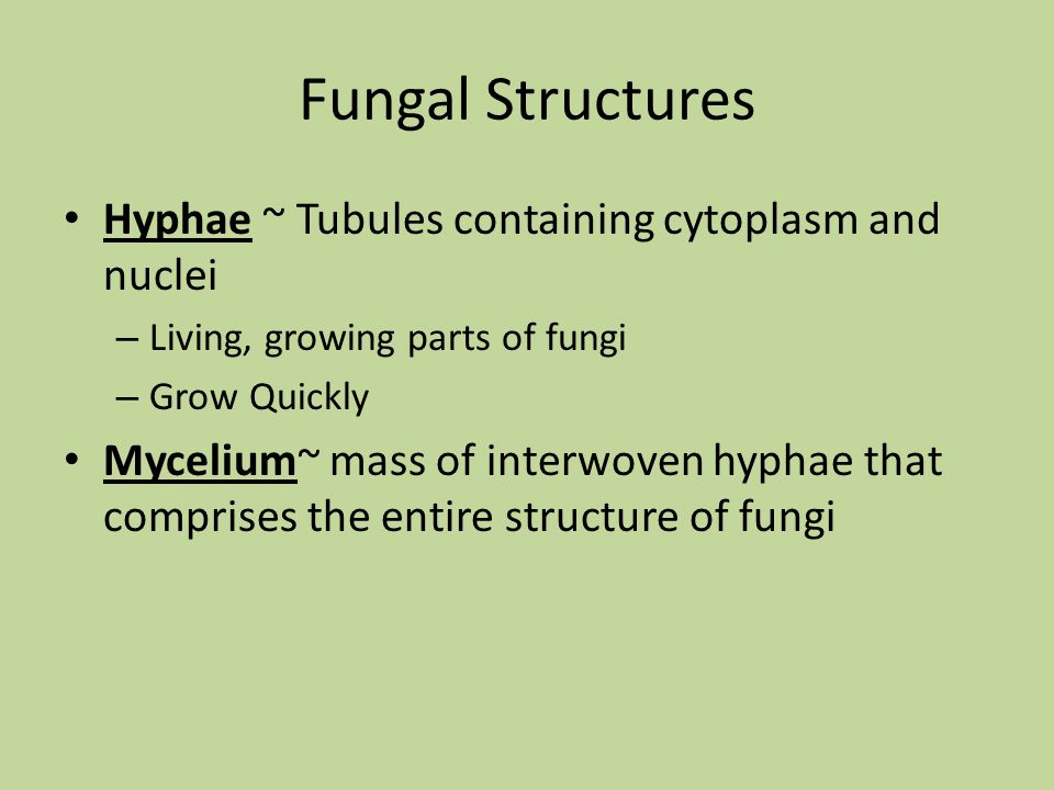 Fungal Structures Hyphae ~ Tubules containing cytoplasm and nuclei – Living, growing parts of fungi – Grow Quickly Mycelium~ mass of interwoven hyphae
