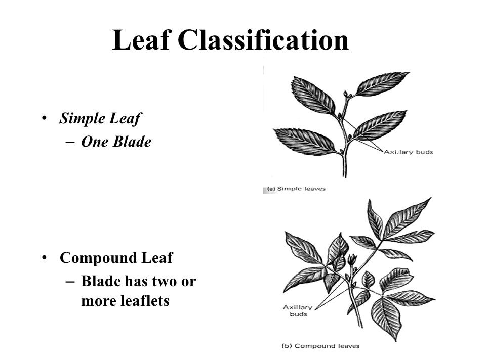 Leaf Classification Simple Leaf –One Blade Compound Leaf –Blade has two or more leaflets