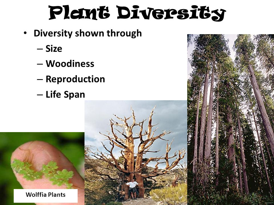 Plant Diversity Diversity shown through – Size – Woodiness – Reproduction – Life Span Wolffia Plants